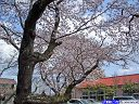 総合グランド桜